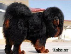 Tibetan Mastiff Dog Breed Information and Photos - Dog Breeds - Katzen witzig Giant Dog Breeds, Giant Dogs, Big Dogs, Mastiff Breeds, Mastiff Puppies, Beautiful Dog Breeds, Beautiful Dogs, Lion Dog, Dog Cat