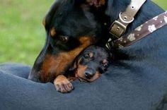 Doberman snuggling with a mini dachshund.