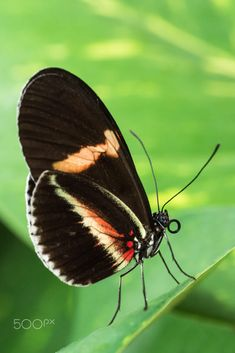 Heliconius by Standa Michálek on 500px
