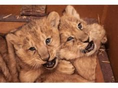 In a zoo in Blijdorp (Netherlands) two lions are born. They are so cute!