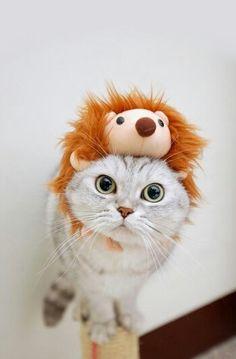 Lion kitty !! So cute ^^