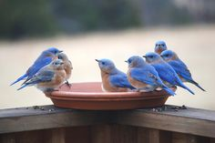 Thirsty bluebirds. . . lovely picture!