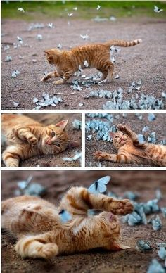 I think this is what happiness looks like.... cat chasing butterflies❤️
