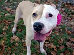 RETURN!! SUPER URGENT Brooklyn Center RETURN 04/13/16 SAFE 8-12-15 STAR – A1046024 SPAYED FEMALE, BROWN / WHITE, PIT BULL MIX, 3 yrs STRAY – STRAY WAIT, HOLD FOR ID Reason STRAY Intake condition EXAM REQ Intake Date 04/13/2016, From NY 11435, DueOut Date 04/16/2016,