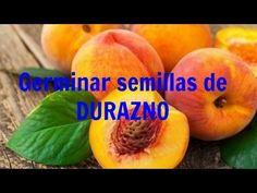 Germinar semilla de durazno | Rapido, facil y 100% efectivo! - YouTube