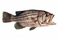 Image result for dhufish Fish, Pets, Animals, Image, Animals And Pets, Animais, Animales, Animaux, Pisces