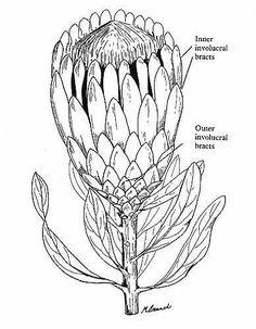 Drawing Flowers & Mandala in Ink - Drawing On Demand Protea Art, Flor Protea, Protea Flower, Flower Sketches, Drawing Sketches, Art Drawings, Flower Drawings, Drawing Flowers, Botanical Drawings