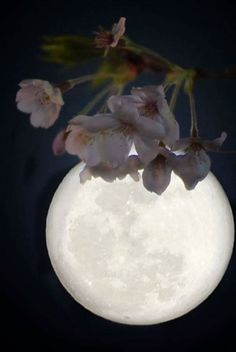 Cherry blossoms and moon. Cherry blossom means impermanence / tomorrow is full moon, Saint Valentines Day Moon Moon, Luna Moon, Sun Moon Stars, Moon Photos, Moon Pictures, Image Nature, Foto Poster, Shoot The Moon, Midnight Garden