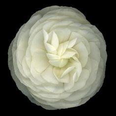 As Maravilhas da Maternidade: Love Love Love Ranunculus