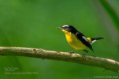 Yellow-rumped Flycatcher by Harpritsingh via http://ift.tt/1PaBDZE