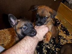 Attacked by 2 assailants wearing black masks. Belgian Malinois puppies at 5 weeks old from Wolfsbane k9.