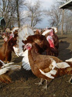 Turkeys are great meat; it's lean, has a lot of great antioxidants, and natural vitamins and nutrients and can be even better if you are raising...