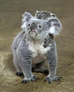 Baby koala and momma...so sweet:)
