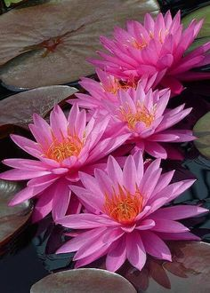 Water-Lilies: Nymhaea [Family: Nymphaeaceae]