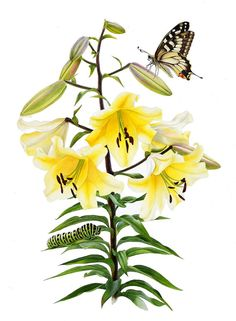 The Big Brother Lily and Swallowtail Butterfly Giclee Art