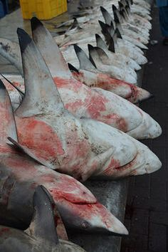 this poor animal need are help not are hate! say no to finning and shark fin soup save the shark!!