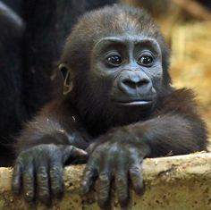 I lub da monkeys Primates, Cute Baby Animals, Animals And Pets, Beautiful Creatures, Animals Beautiful, Western Lowland Gorilla, Silverback Gorilla, Magnificent Beasts, Baby Gorillas