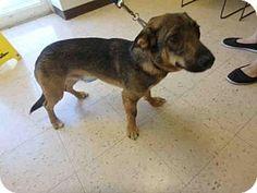 Naples, FL - German Shepherd Dog/Basset Hound Mix. Meet TYRION, a dog for adoption. http://www.adoptapet.com/pet/17802633-naples-florida-german-shepherd-dog-mix