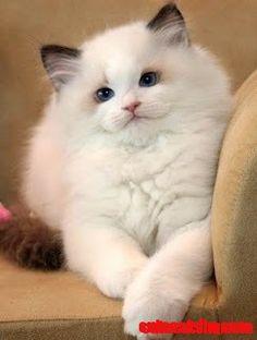What a Beautiful White Cat - http://cutecatshq.com/cats/what-a-beautiful-white-cat-2/