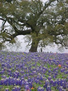 Bluebonnets & oak