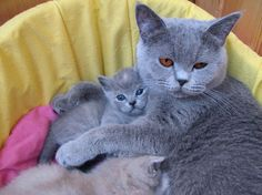 British shorthair kittens - 11 Pictures (8)