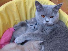 British shorthair kittens - 11 Pictures (8)