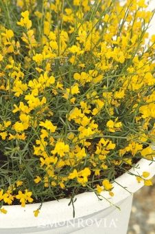 Monrovia's Bangle™ Genista details and information. Learn more about Monrovia plants and best practices for best possible plant performance. Unique Flowers, Pretty Flowers, Nitrogen Fixing Plants, Deer Resistant Shrubs, Monrovia Plants, Plant Catalogs, Landscape Architecture, Outdoor Living