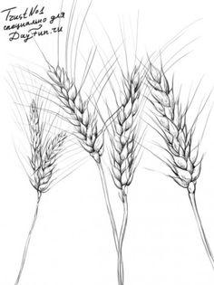 Как нарисовать пшеницу карандашом поэтапно 4
