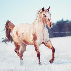 I seriously love the varnish red roan appaloosas!