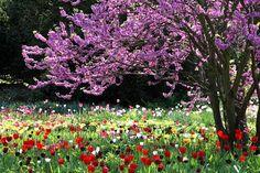 Judas tree and tulips abloom