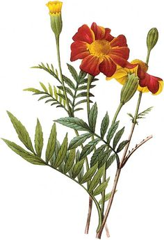 Pierre Joseph Redouté (1759-1840). Not just regal roses, but the humble marigold!