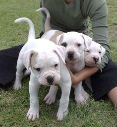 American Bulldog puppies | Kennel Marina's Blue