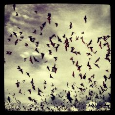 Nature photography bats in flight - Texas wings small tiny cute animals dark sky silhouette gothic nature cloudy landscape photography Photo+from+the+Instacanvas+gallery+of+hexhearthollow.