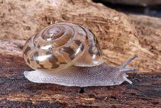 Kimberley land snail: Torresitrachia sp