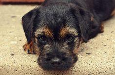Border Terrier #Dogs #Puppy - this isn't Milly but the eyebrows look soooooooo like her