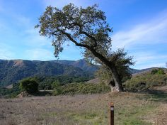 The Hanging Tree at Gallows Hill