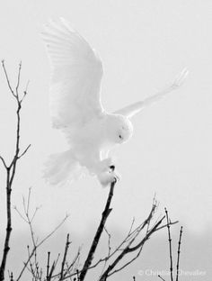 Ghost of the north A beautiful ghostly photo of a Snowy Owl (Bubo scandiacus) landing on a branch in Quebec, Canada. Photo by Christian Chevalier photographe. Beautiful Owl, Animals Beautiful, Cute Animals, Animals Dog, Owl Bird, Pet Birds, Owl Pictures, Ghost Photos, Snowy Owl