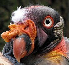 King vulture - Wikipedia, the free encyclopedia