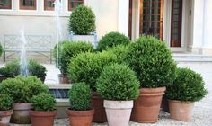 Simple Details: potted boxwoods and evergreens.. potted shaped boxwoods in clay pots with white lights on patio!.