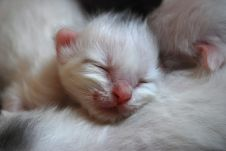 Pure white new born kittens picture.PNG