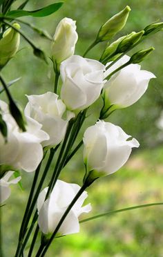 Eustoma (archaic name is Lisianthus). Lisianthus flowers are either single-flowered or double-flowered. Moon Garden, Dream Garden, Amazing Flowers, Beautiful Flowers, Beautiful Gorgeous, Exotic Flowers, White Roses, White Flowers, Yellow Roses