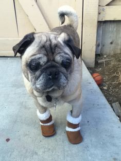 A pug with an ugly mug in uggs!!!!!  LOVE THAT!!!