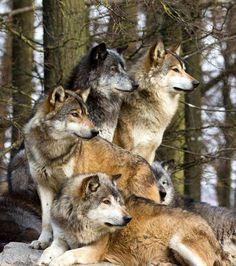 Una familia de lobos vigilante.