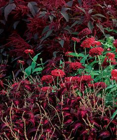 Cherry red zinnias (Zinnia 'Benary's Giant Deep Red', annual) pick up the same bright color from the center of the dark red leaves of a coleus (Solenostemon scutellarioides 'Kingwood Torch', USDA Hardiness Zone 11) and reflect it upward to meet the bowing plumes of a red amaranth (Amaranthus cruentus 'Polish', annual).