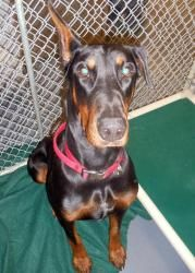 "Maverick: Doberman Pinscher, Dog; Maverick came in as a stray but was not claimed. He is here with his ""sister,"" Isis. Maverick is a gorgeous black & tan doberman, he is estimated to be about 1 year old. He has not yet been temperment tested but so far has done well with the staff and volunteers here at the shelter. If you are interested in adopting this wonderful (and/or) his sister, please stop in SOON!"