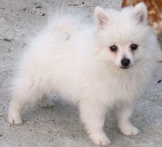Volpino Italiano Puppies