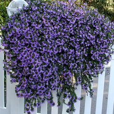 Blue Trailing Flower