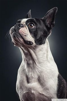 Portrait of a Boston Terrier by linsensuppe -  fotografie on 500px