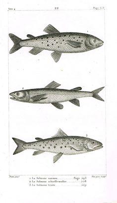 """Lacepede's Fish - """"LA SALMONE SAUMON - Plate 22"""" by Pretre - Copper Engraving - 1833"""
