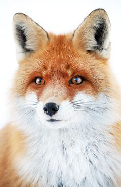 °Foxy Look by Sorin Rechitan